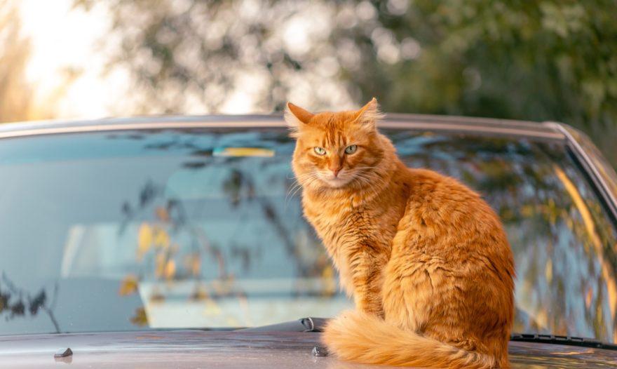 Viajar Coche Gatos